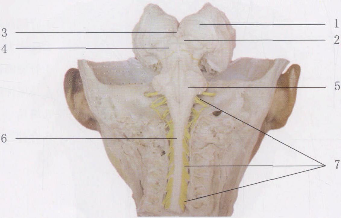 (图) 脑干和脊髓(后面观)-临床应用人体结构-医学
